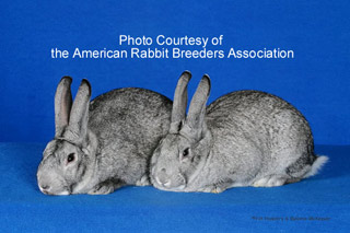Image of American Chinchilla Rabbit